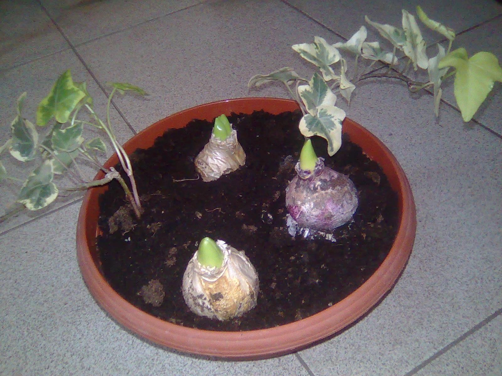 Antoanet.ad005 Засаждане на луковици