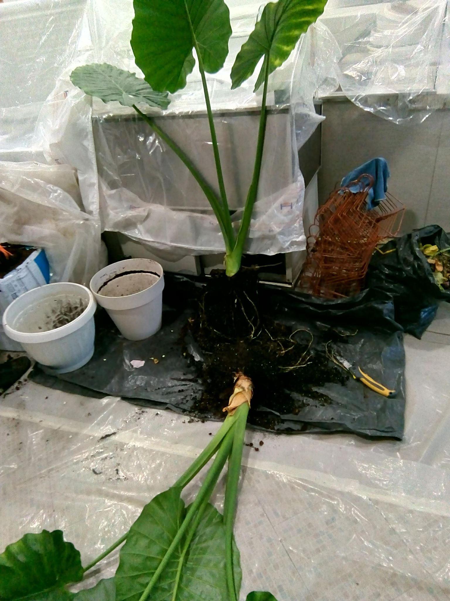 Презасаждане на саксийни растения